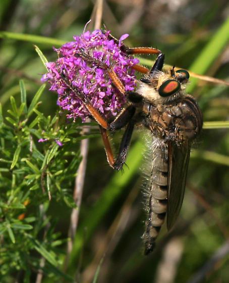 Robber Fly - Promachus vertebratus