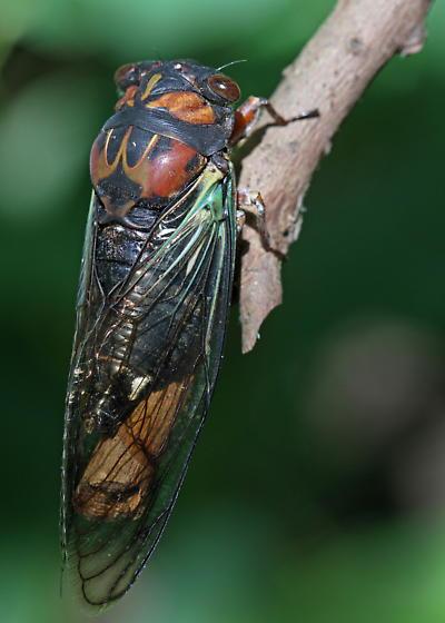 Cicada - What kind? - Neotibicen lyricen