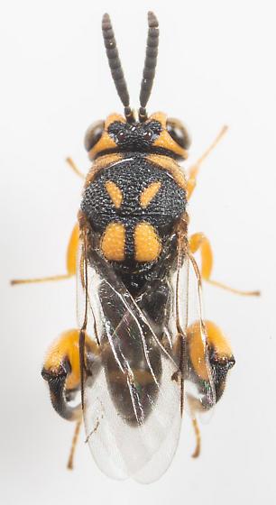 Wasp - Conura