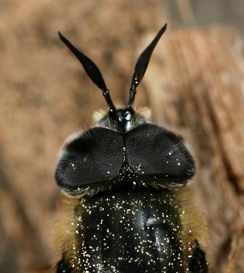 Callicera erratica - male