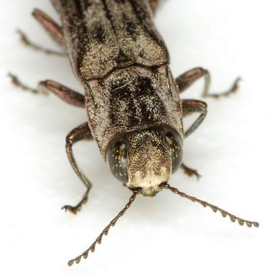 Agrilus subtropicus Schaeffer - Agrilus subtropicus