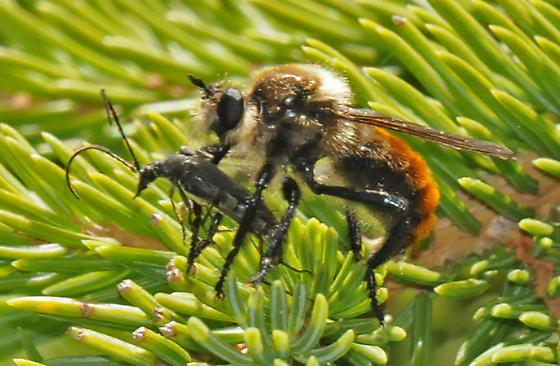 Montane Robber Fly - Laphria janus - female