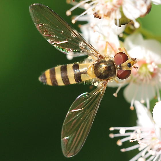 Spreadwing hoverfly - Meliscaeva cinctella - female