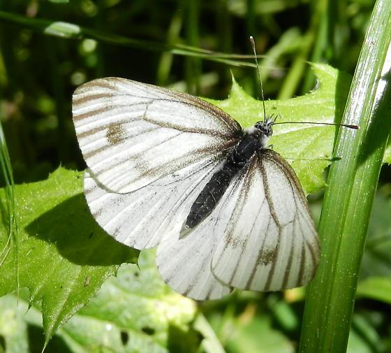 Type of white butterfly - Pieris marginalis - female