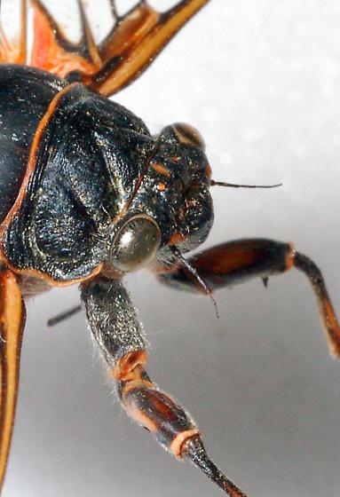 Unknown Orange Laced Cicada - Okanagana