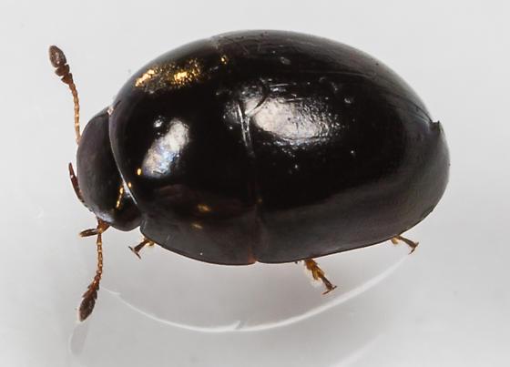 Shining Flower Beetles - Phalacrus - male