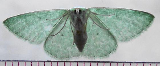 S. Emerald Moth on window (ventral) - Synchlora frondaria - female