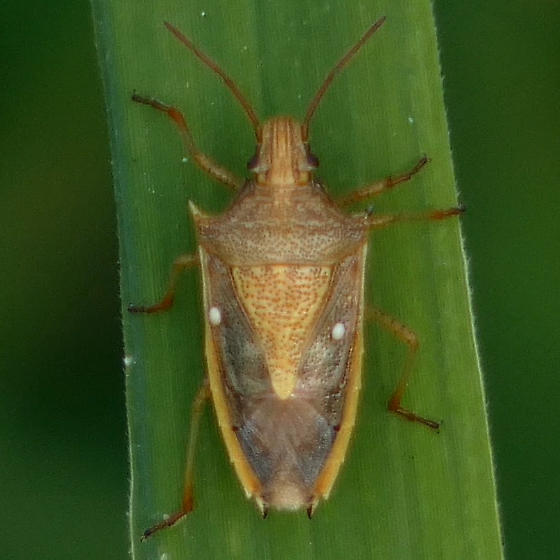 some bug - Oebalus pugnax