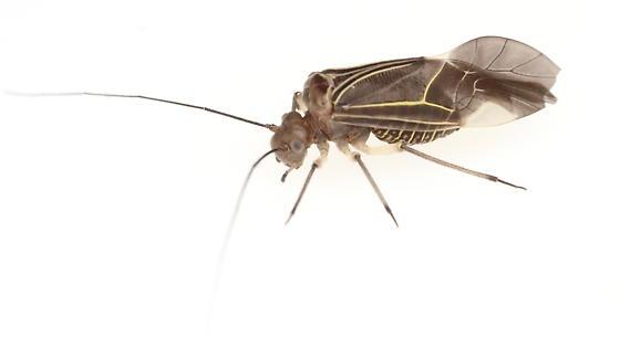 Psocid - Cerastipsocus venosus
