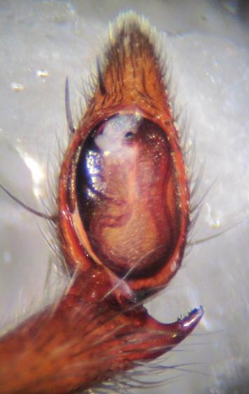 Adult Male - Drassodes neglectus - male