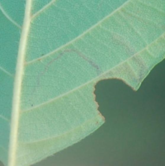 St. Andrews leaf miner on Alnus serrulata SA1393 2018 2 - Stigmella