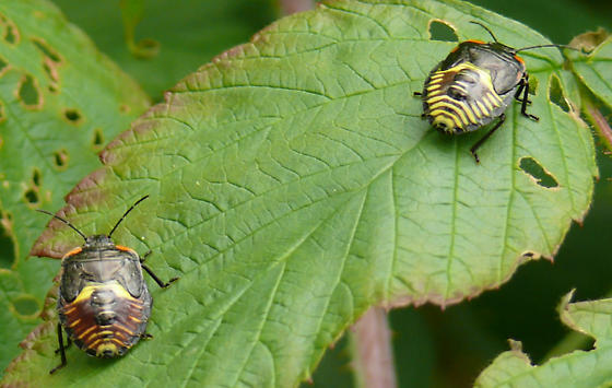 Beetle - Chinavia hilaris