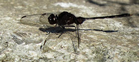Black dragonfly - Erythemis plebeja - male