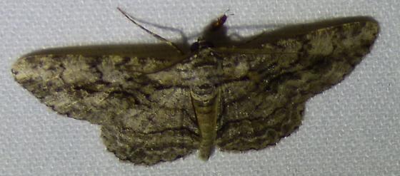 unknown moth - Anavitrinella pampinaria - male