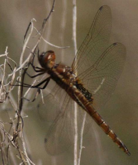 unid skimmer dragonfly with basal pattern in rear wing - Miathyria marcella