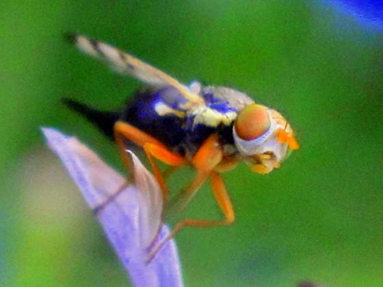 unknown fly  - Urophora - female