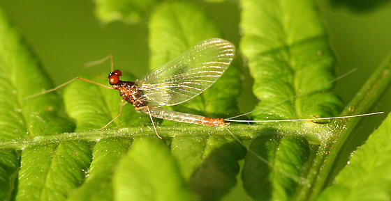 white and brown mayfly with orange eyes - Paraleptophlebia - male