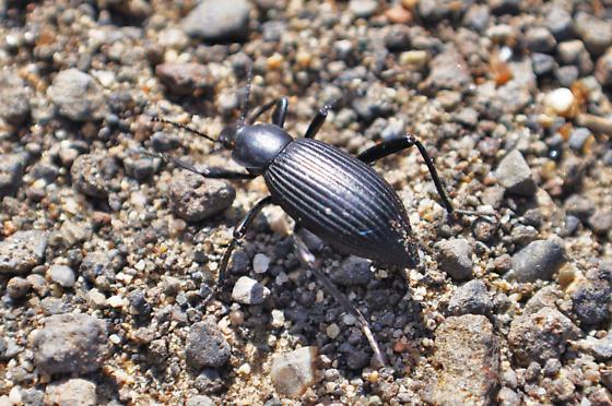 Eleodes sp. - Eleodes hispilabris