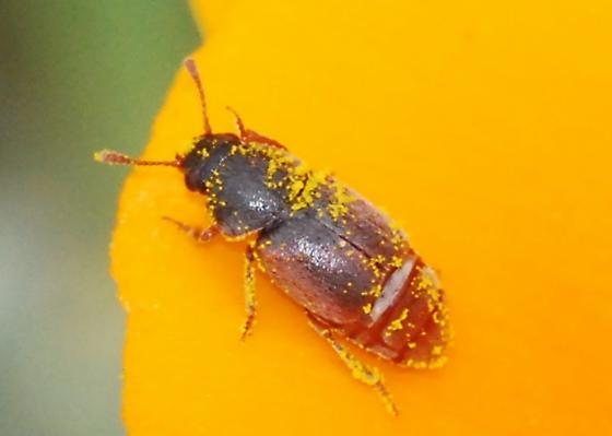 Poppy-lovin' beetle - Amartus tinctus