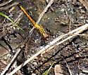 Dragonfly - Erythrodiplax berenice