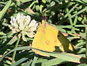 Butterfly - Colias eurytheme - male