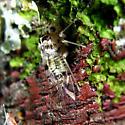 Bark Louse - Metylophorus purus