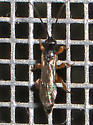 Tiny wasp with fat legs