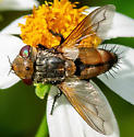 What type of fly? - Gonia crassicornis