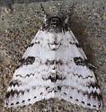 Moth at the fuel pump - Catocala relicta
