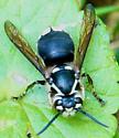 Bald-faced Hornet? - Dolichovespula maculata