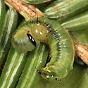 caterpillar on hemlock - Acantholyda