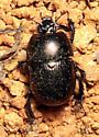 Beetle - Geotrupes