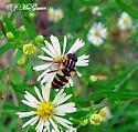 Hover fly-species? 1 - Helophilus