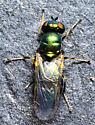 Diptera - Microchrysa polita - female