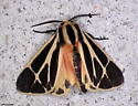(Banded or Harnessed?) Tiger Moth - Apantesis phalerata