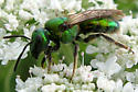 Gold-green Sweat Bee - Augochlora pura - female
