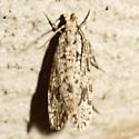 Burrowing Webworm Moth