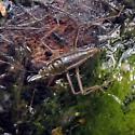 Water Hemiptera 2 - Mesovelia