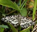 moth - Rheumaptera