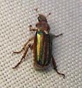 Greeny-backed beetle - Dichelonyx albicollis