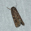 Small Mottled Willow Moth - Spodoptera exigua