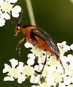 Wedge-shaped Beetle - Macrosiagon limbata - male
