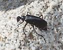 Beetle in Colorado Desert