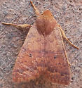 Reddish brown moth ? - Sunira bicolorago