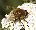 Syrphid Fly - Merodon equestris