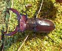 Giant Stag Beetle, Elk Stag Beetle (Lucanus elaphus) - Lucanus elaphus - male