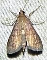 Herpetogramma phaeopteralis - Herpetogramma phaeopteralis