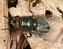 blow fly sp. - Phormia regina - female