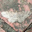 Canadian Melanolophia - Hodges#6620  - Melanolophia canadaria - male