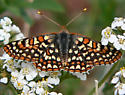Variable Checkerspot? - Euphydryas anicia--c - male